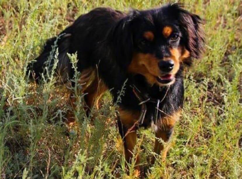 Алопекис – фото собаки, описание породы, цена щенка