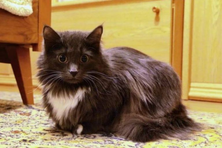Шантильи-тиффани: все о кошке, фото, описание породы, характер, цена