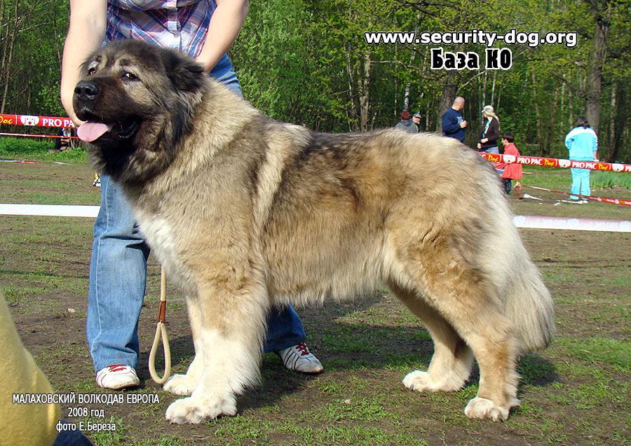 Кавказская овчарка – описание, история и стандарт породы, особенности характера и окраса