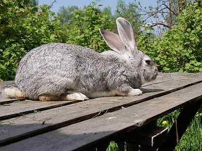 ᐉ кролики породы бельгийский великан (фландр): описание, разведение и содержание в домашних условиях - zooon.ru
