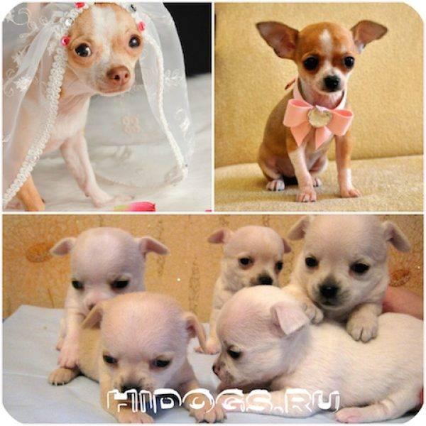 Чихуахуа: описание породы, характер, фото, уход и содержание, воспитание щенка | zoosecrets