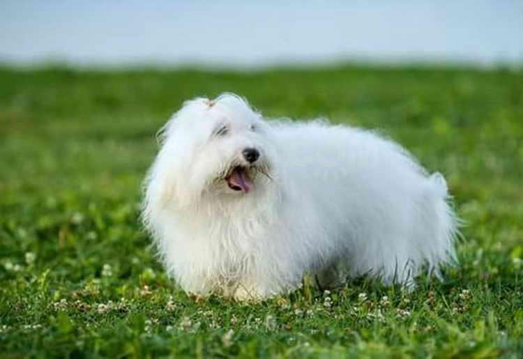 Описание породы собак котон-де-тулеар: характер, уход, предназначение