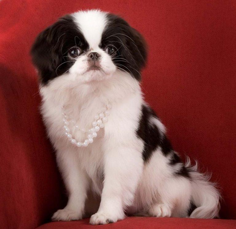 Японский хин (64 фото): описание породы и характер собак, характеристики щенков спаниеля, плюсы и минусы, отзывы владельцев