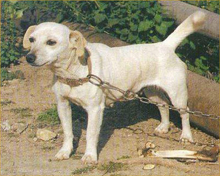Есть порода собак алопекис