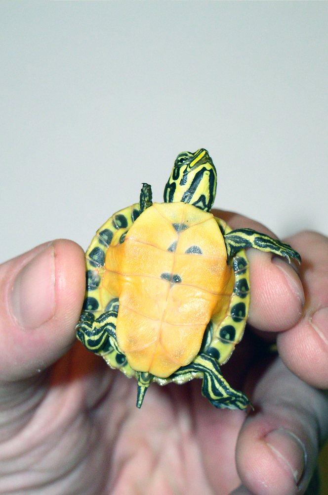 Расскажем, как определить пол красноухой черепахи