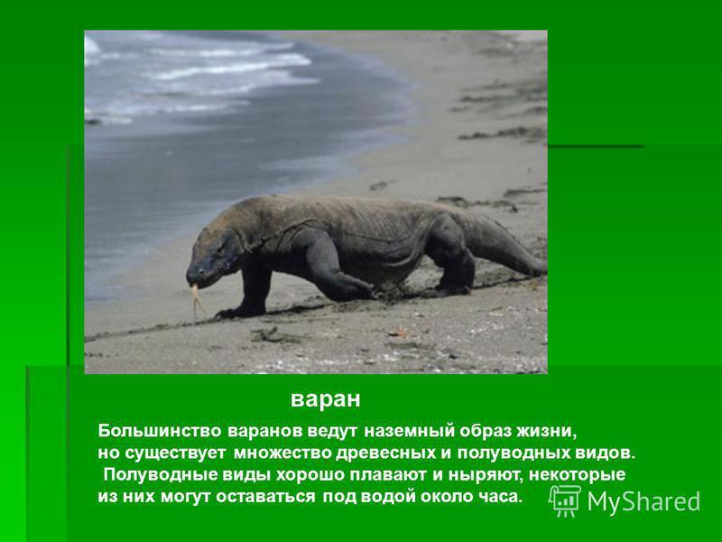 Вараны: описание, виды, среда обитания, что ест, враги, образ жизни   планета животных