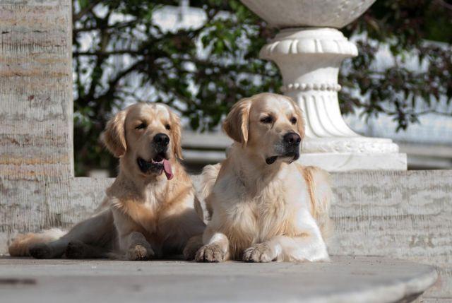 Голден или лабрадор или никого - ретривер дома - лабрадор.ру собаки - ретриверы