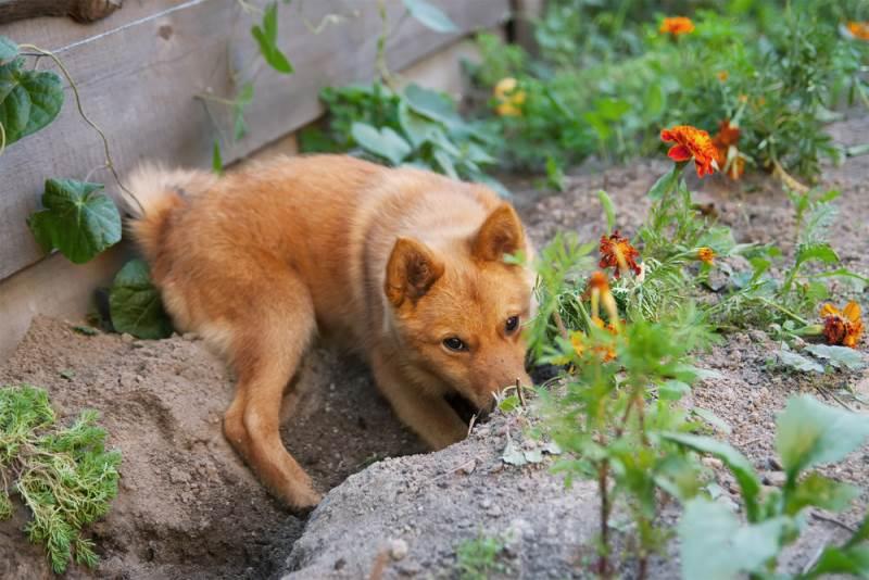 Собака роет яму возле дома