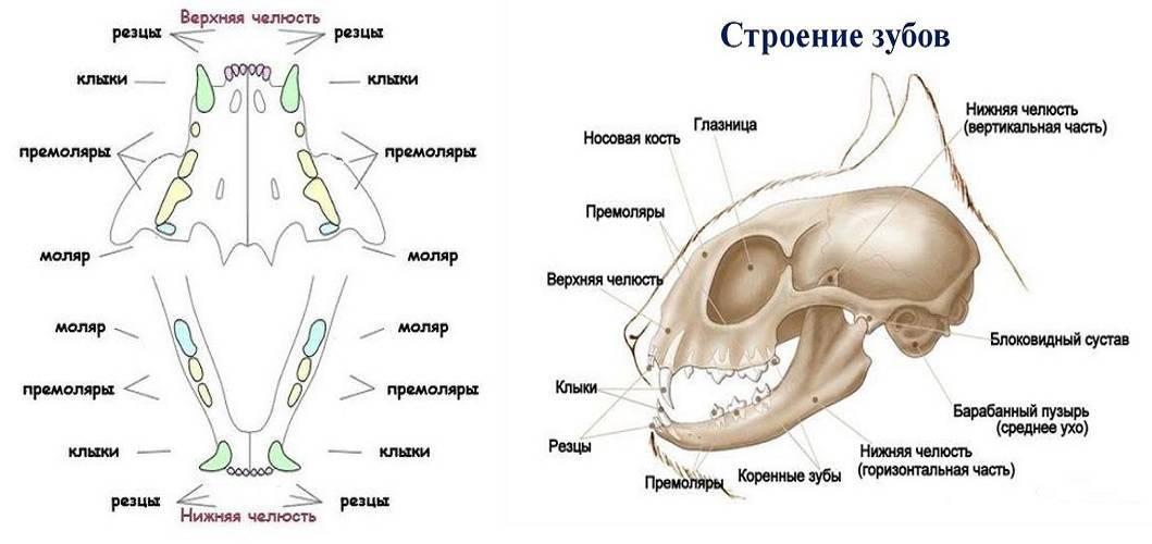 Кошки, выпадение зубов у кошек, причины заболевания и способы лечения