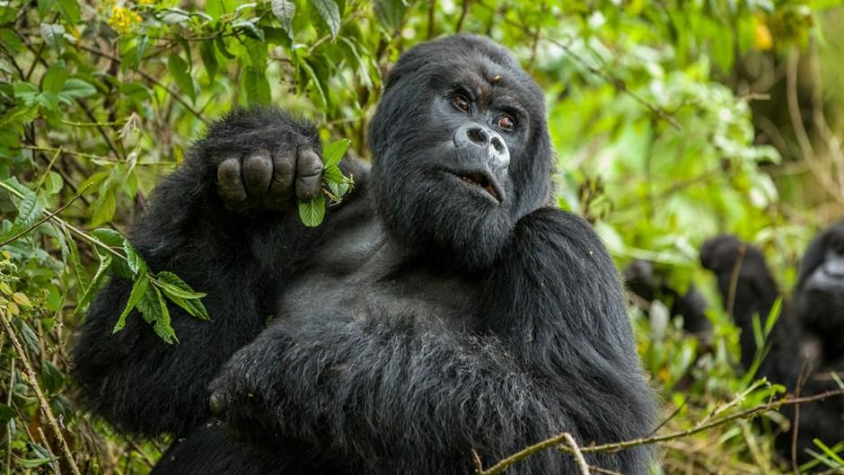 Большие и вымирающие горные гориллы - zefirka