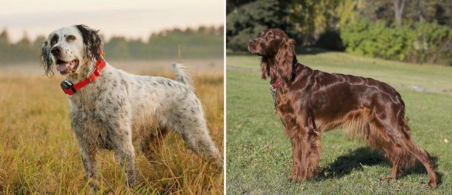 Английский сеттер: фото, характер, все об уходе и содержании собаки