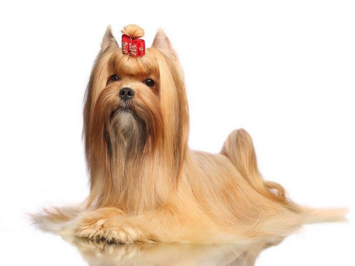 Русская салонная собака – описание - окружающий мир вокруг нас