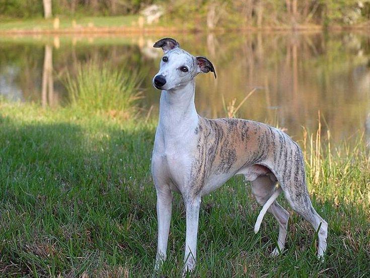 Уиппет собака фото, описание породы, цена щенка, отзывы