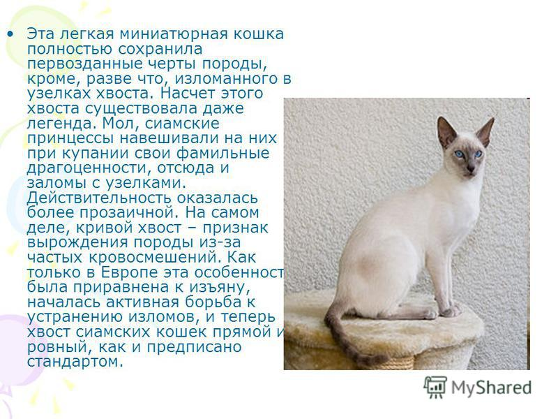 Cиамская кошка - характер породы, фото