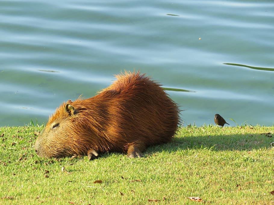 ᐉ капибара - самый большой грызун, как выглядит, что ест, можно ли содержать в домашних условиях и другие интересные факты - zoovet24.ru