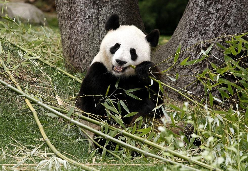 Панда - описание, семейство, где обитает, чем питается, сколько весит