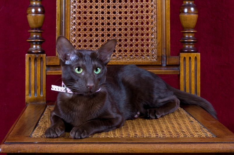 Порода кошек гавана браун — шоколадное совершенство