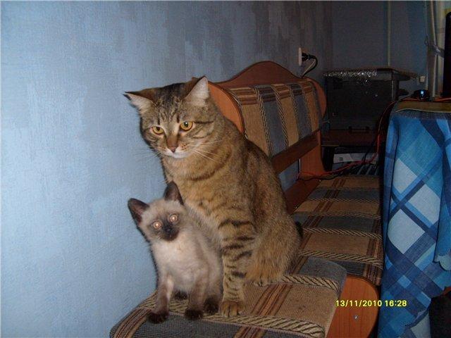 Как подружить котят со взрослой кошкой