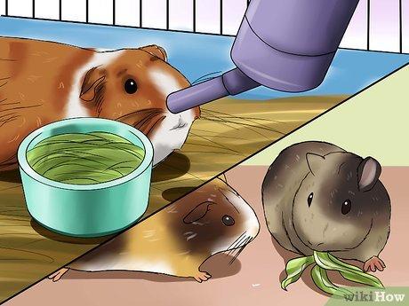 Чем болеют морские свинки?