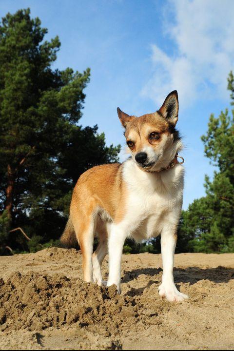 Норвежский лундехунд: описание породы собак с фото и видео