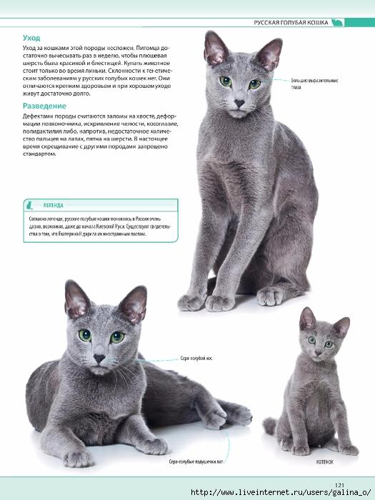 Русская голубая кошка: описание породы, характер, фото и цена