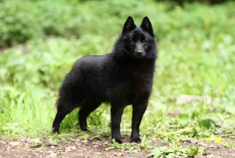 Шипперке (схипперке): описание породы, все о собаке, фото
