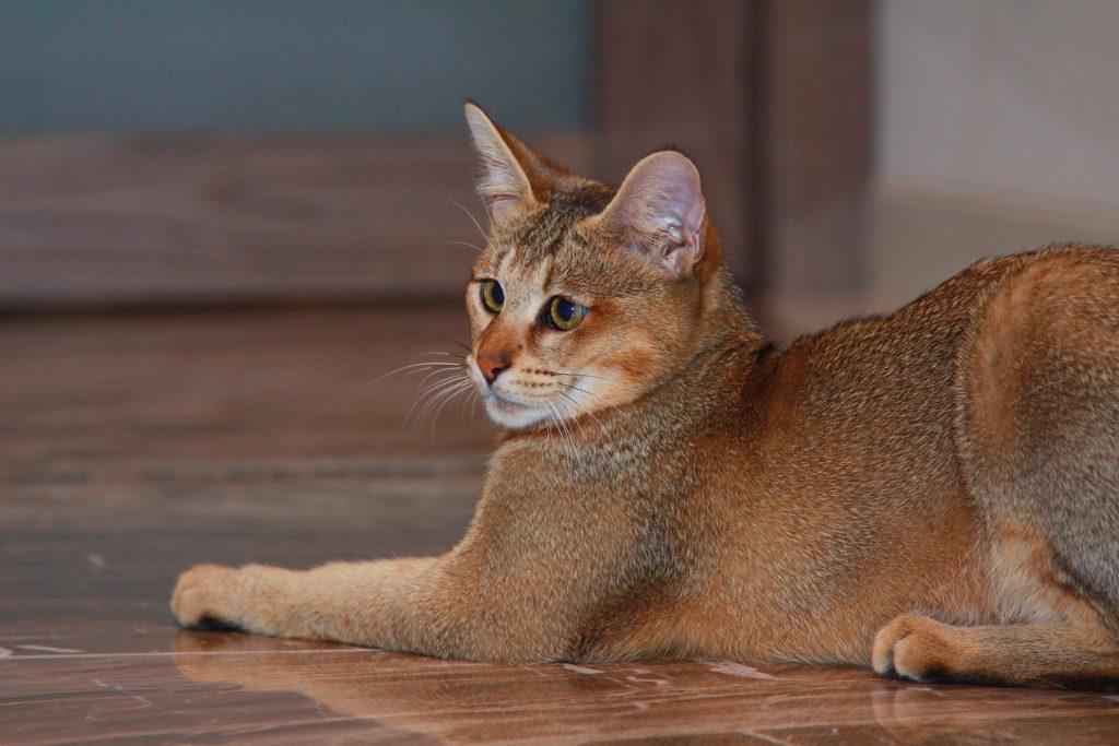 Чаузи, хауси, шаузи дикие кошки происхождение характер - мир кошек