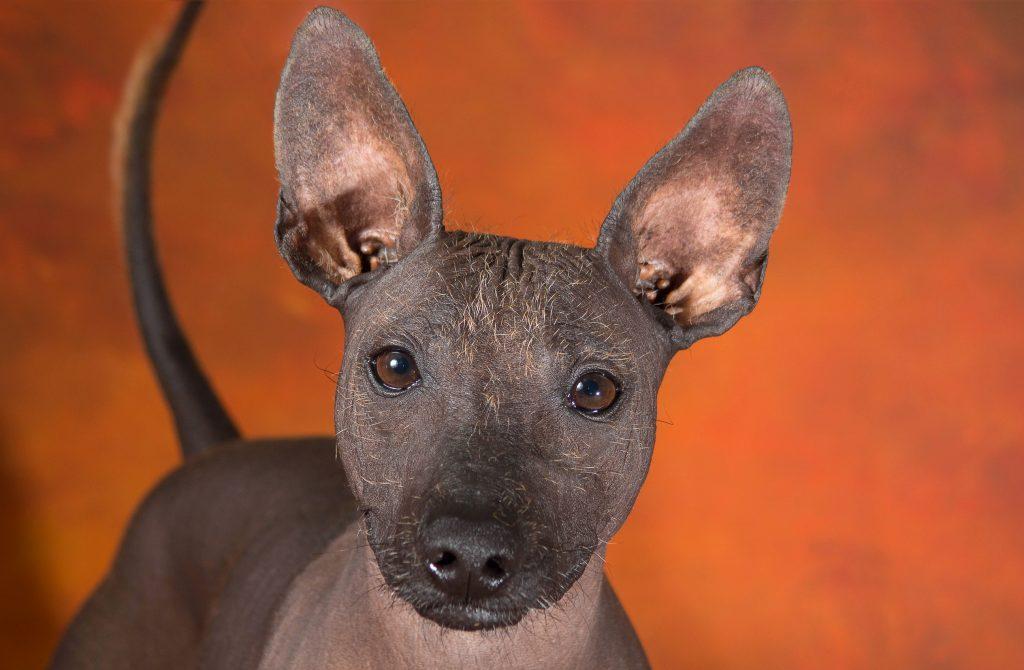Ксолоитцкуинтли: фото, описание и характеристика породы, щенки
