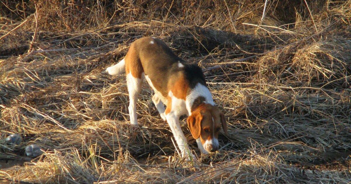 Охота на зайца с гончими (русскими пегими ), как наганивать гончую
