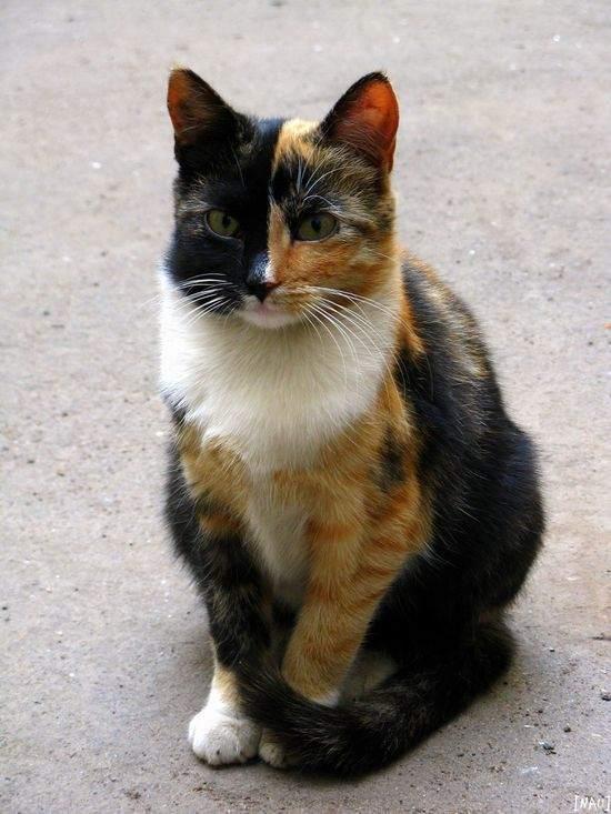 Бывают ли коты-мальчики трёхцветными и что сулит встреча с таким котом