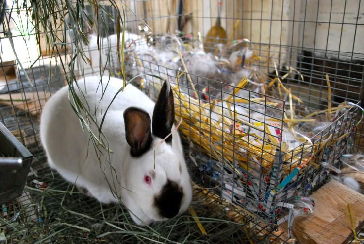 Особенности разведения кроликов в домашних условиях   cельхозпортал