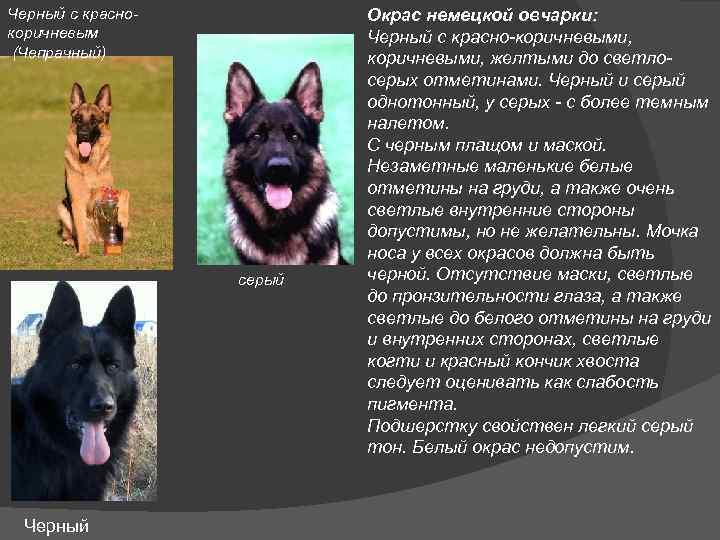 Овчарки: виды пород с фото с описанием :: syl.ru