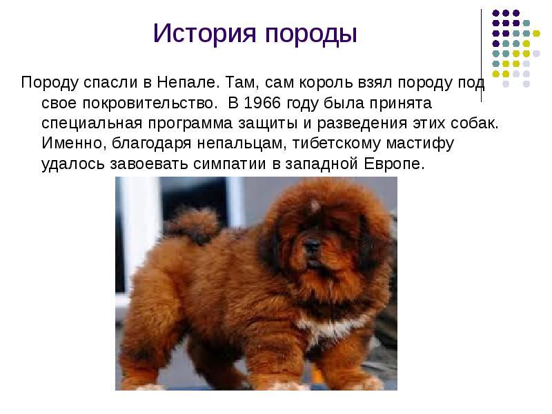 Тибетский мастиф - описание породы собак, цена