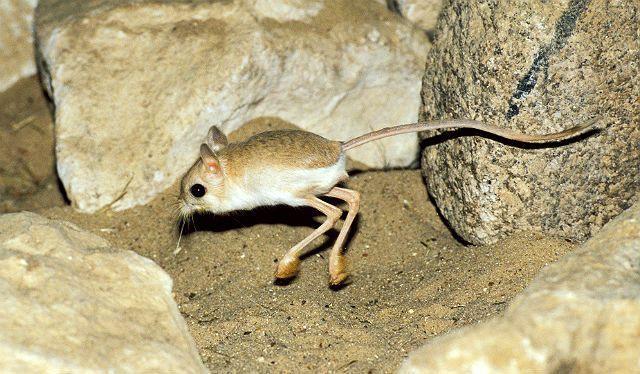 Кто такой тушканчик? описание, фото и среда обитания тушканчика