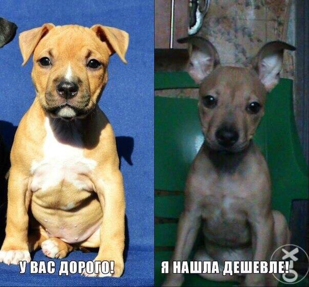 Топ самых дорогих собак в мире и в россии: описание пород и сколько стоят щенки