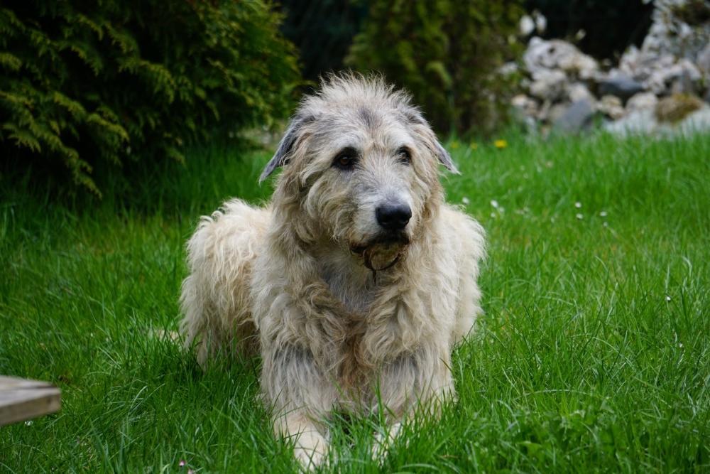 Ирландский волкодав собака. описание, особенности, уход и цена породы | sobakagav.ru