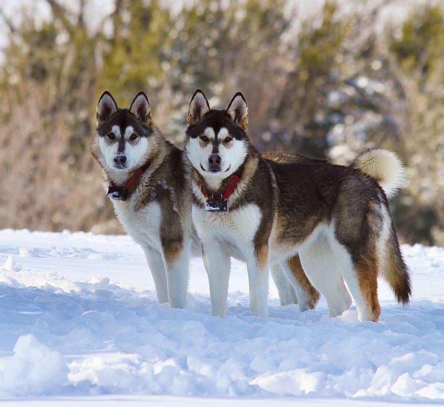 Породы северных ездовых собак