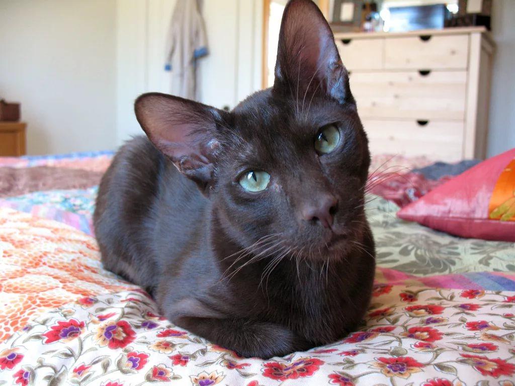 Гавана браун кошка: фото, характер, уход, описание
