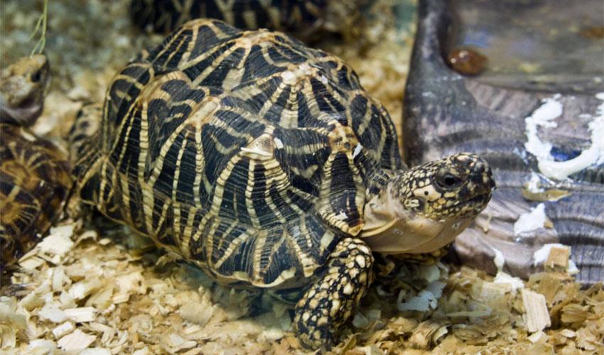 Звездная черепаха. индийская звездчатая черепаха (geochelone elegans). трудности при уходе за индийской звездчатой черепахой