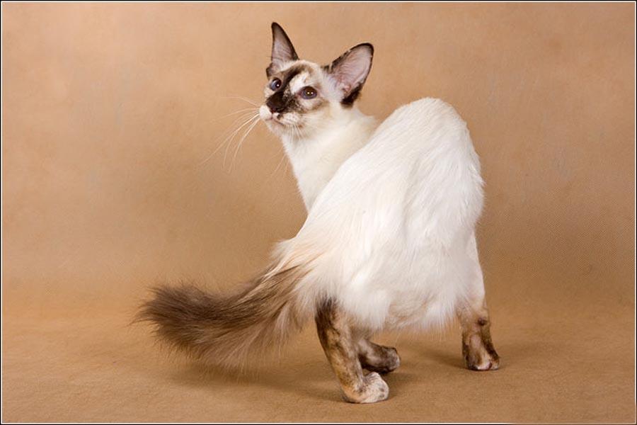 Балинезийская кошка: фото породы, описание и цена
