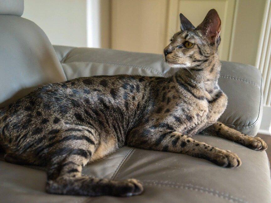 Самые дорогие коты в мире: обзор фото и цены