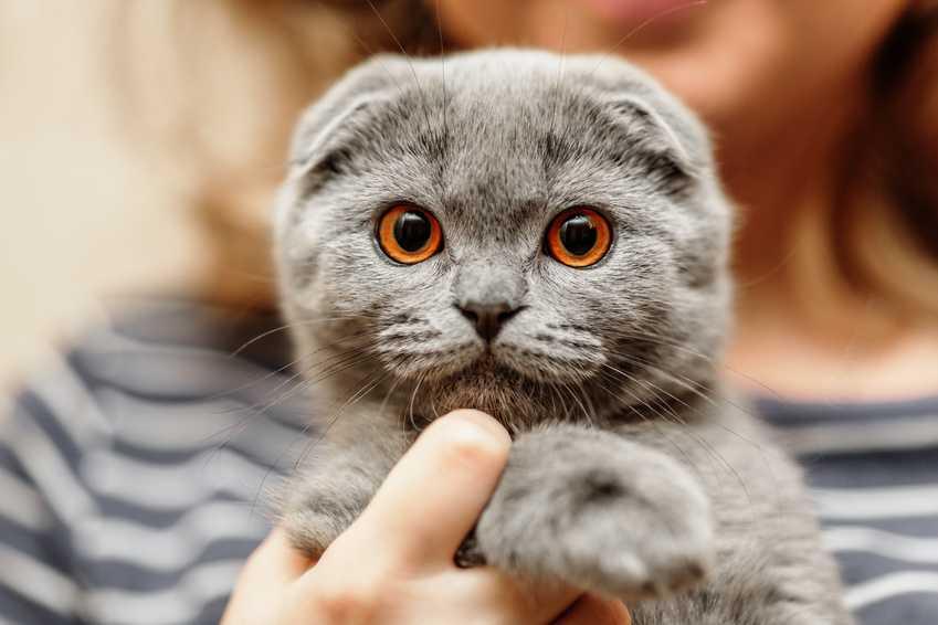 Привычки и черты характера британских кошек