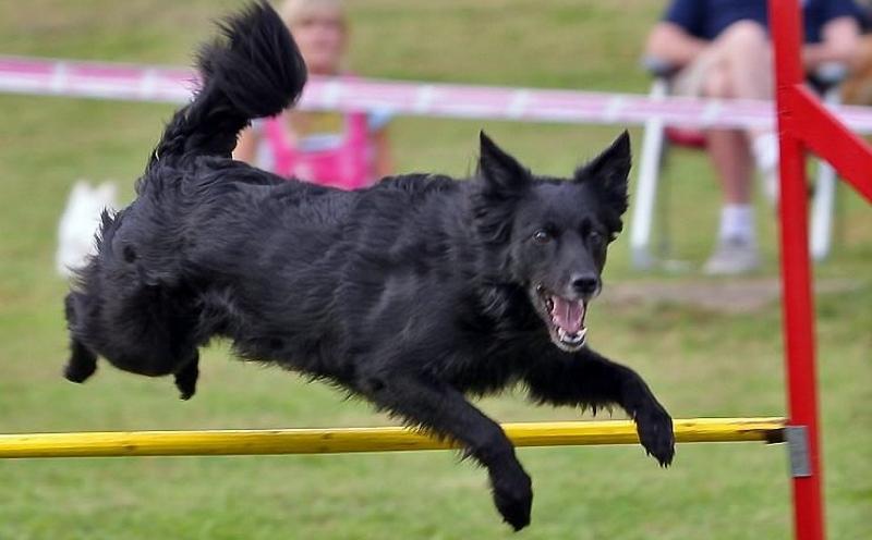 Английская овчарка собака. описание, особенности, виды, характер, уход и цена породы | живность.ру