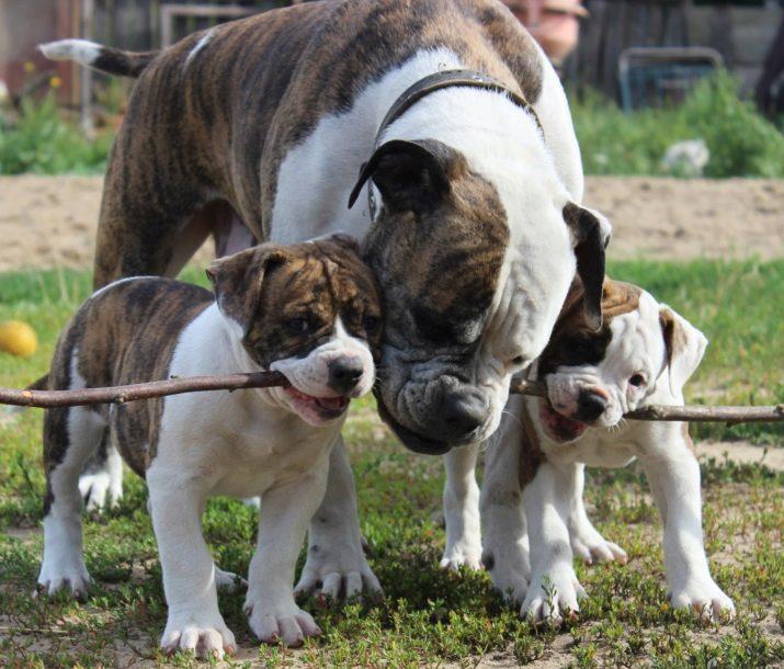 Новые породы собак (21 фото): названия новых пород больших и маленьких собак, выведенных в россии и других странах