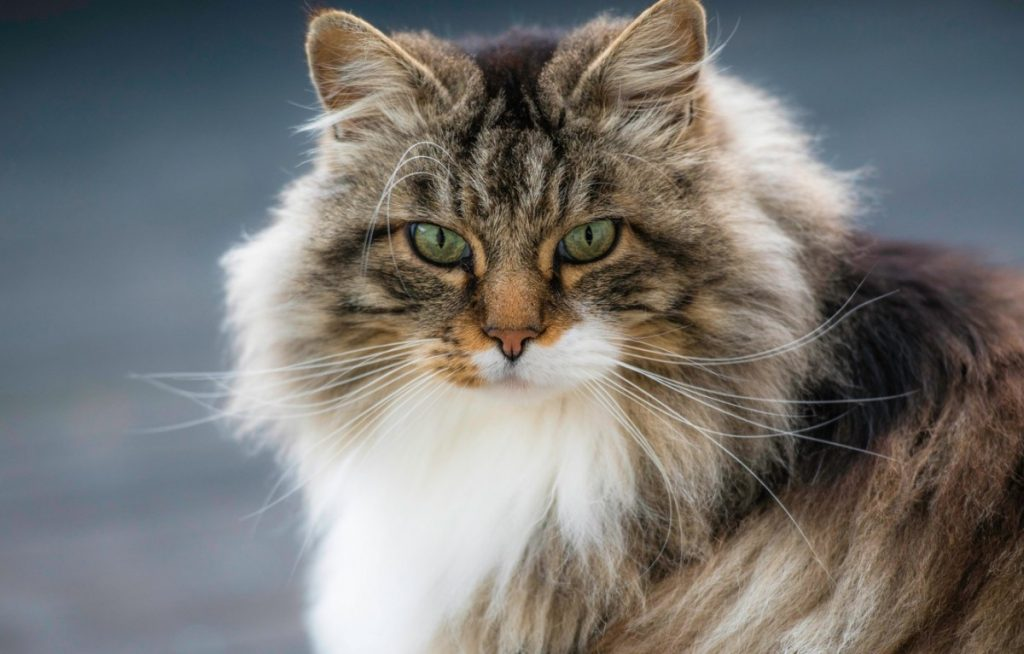 Норвежская лесная кошка - описание и стандарт породы, характеристики, особенности содержания и питания