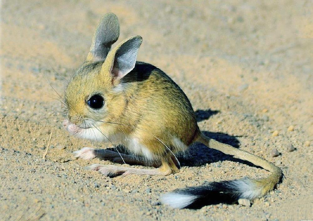 Большой тушканчик: описание степного животного, образ жизни, питание