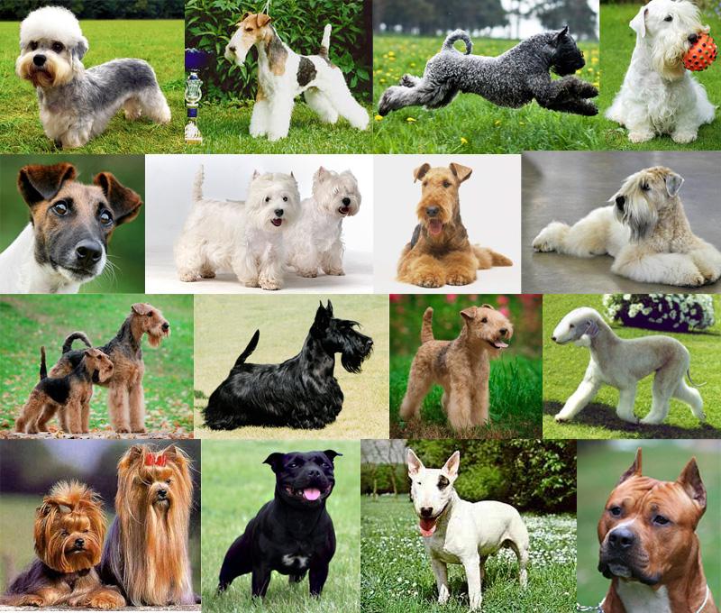 Терьеры: все о собаках, описание группы, популярные породы.