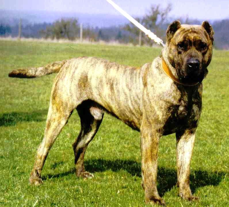 Собака породы аргентинский дог. описание, особенности, характер, уход и цена | живность.ру