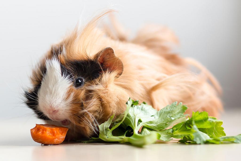 Можно ли морским свинкам хлеб черный или белый - сайт о домашних питомцах