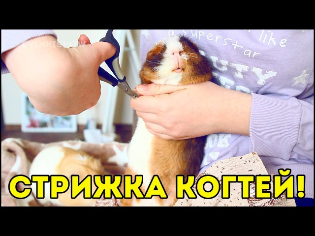 Как подстричь когти морской свинке в домашних условиях и не навредить: пошаговая инструкция